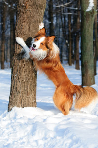 Never Stop Playing, Border collie yang dog play in winter