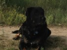 rottweiler dog training denver